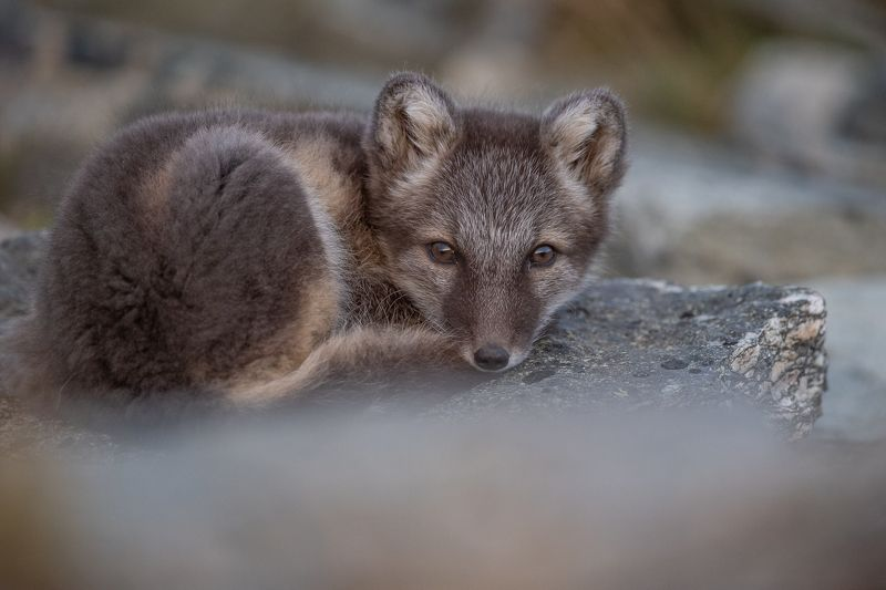 arctic fox, animal, fox The small tired arctic foxphoto preview