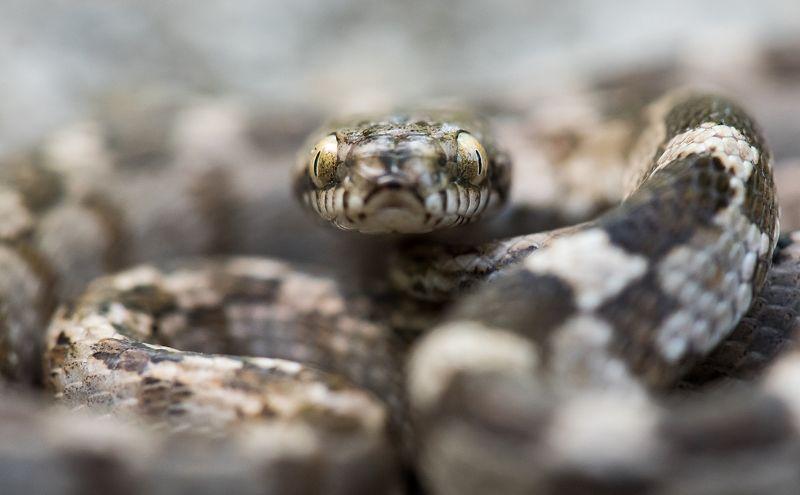 Картинки кошачья змея