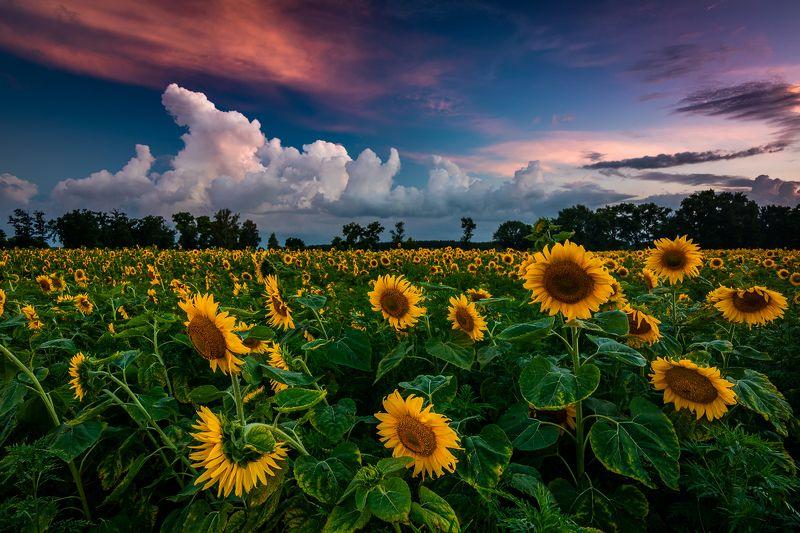 лето, подсолнухи, закат Запах грозыphoto preview