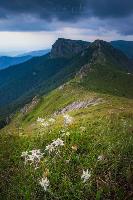 эдельвейс, горы, приключения, пейзаж, природа, дождь, дикие, цветы Эдельвейсphoto preview