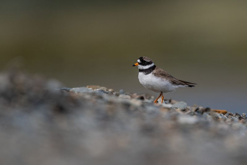 Common ringed plover, bird Common ringed ploverphoto preview