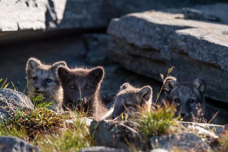 arctic fox, fox, animal 4 of the small foxesphoto preview