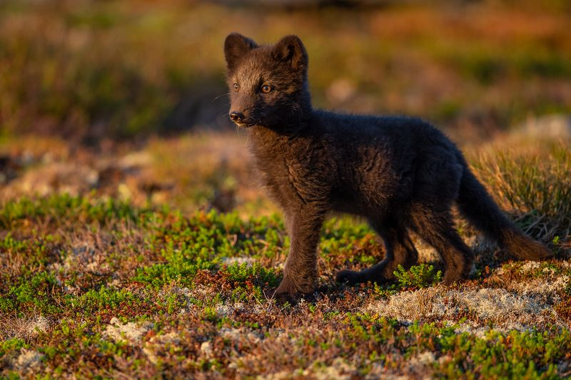 arctic fox, fox, animal In the morning lightphoto preview