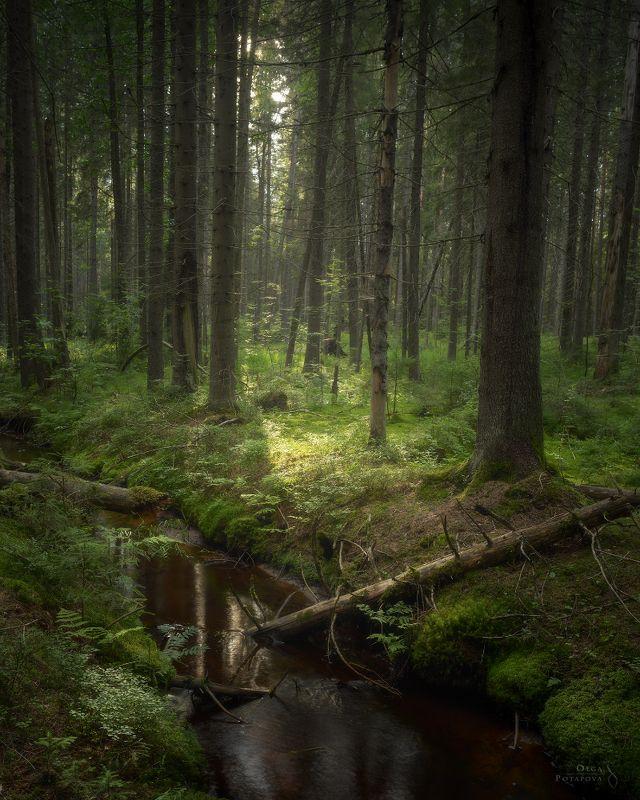 комарово, лес, ручей, ленинградская область, ельник, зелень, лето, свет Комаровский лесphoto preview