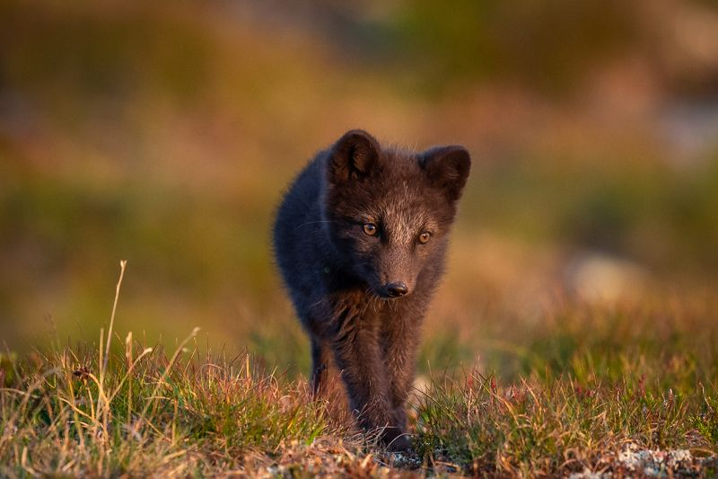 arctic fox, animal, wildlife Come play wit me :)photo preview
