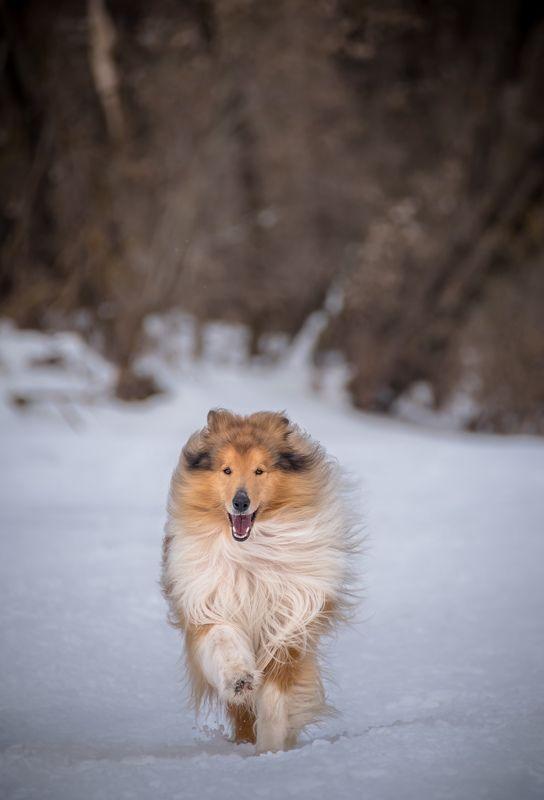 Колли, собака, фотосессия, Лео, прогулка с собакой, весна, Москва река, Звенигород, снег, грация, ражая собака, бег, пёс, позирует   В ожидании весныphoto preview