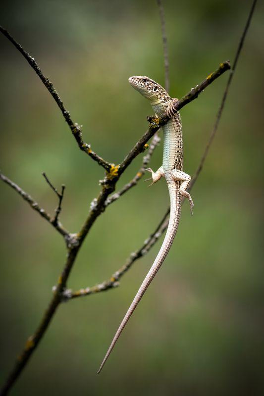 ящерица, ветка, макро Акробаткаphoto preview