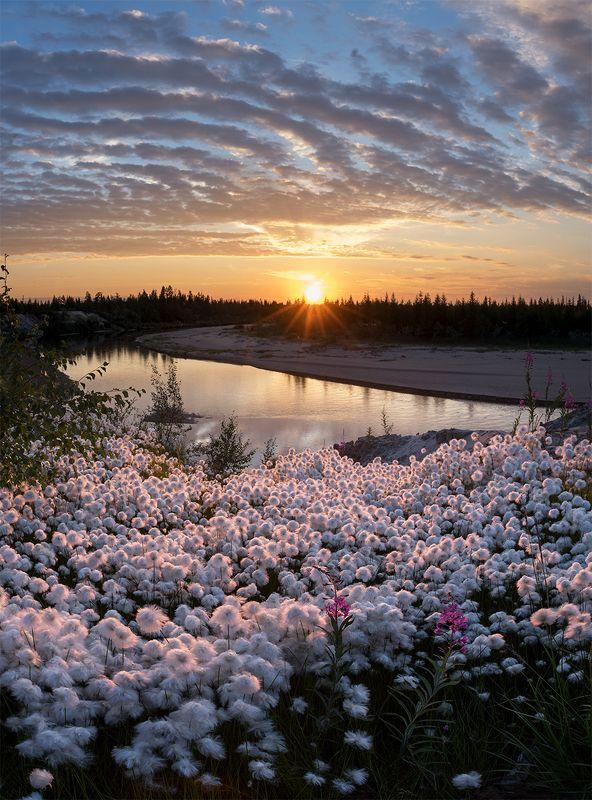 пушица. сибирь, лето, закат Пушица на закатеphoto preview