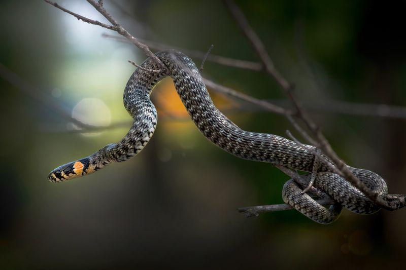 уж, макро, змея Виртуозphoto preview