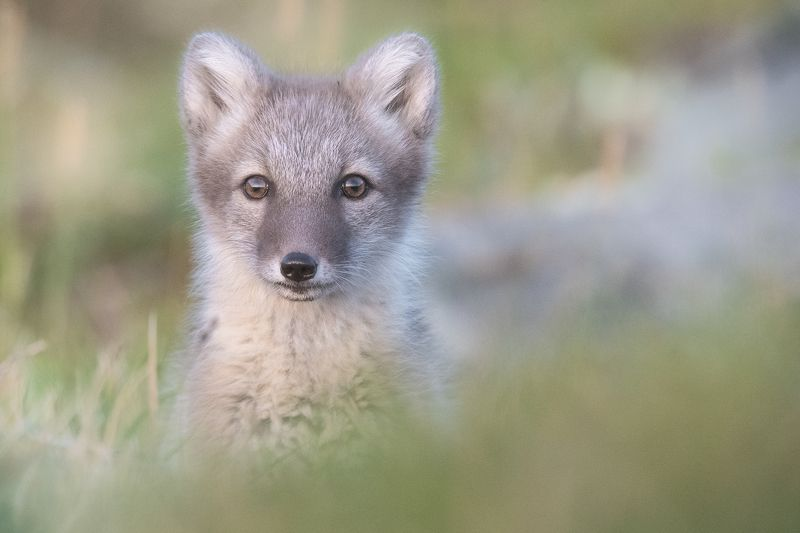 fjellrev, arctic fox, animal The small curious arctic fox puppyphoto preview