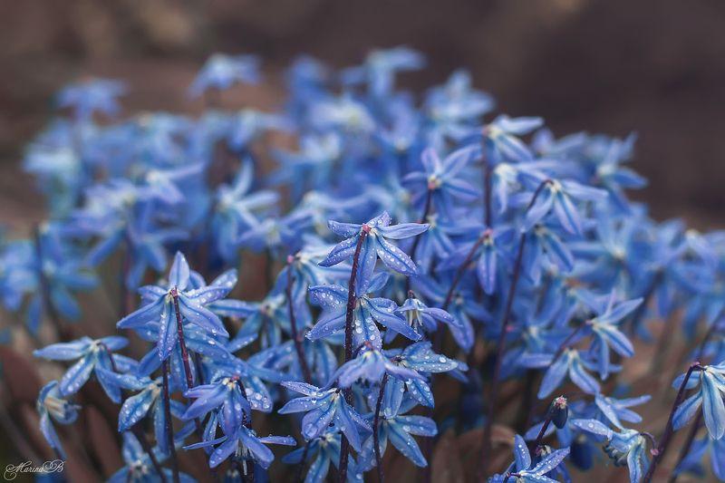 пролеска, весенние цветы, весна Сцилла (пролеска)photo preview