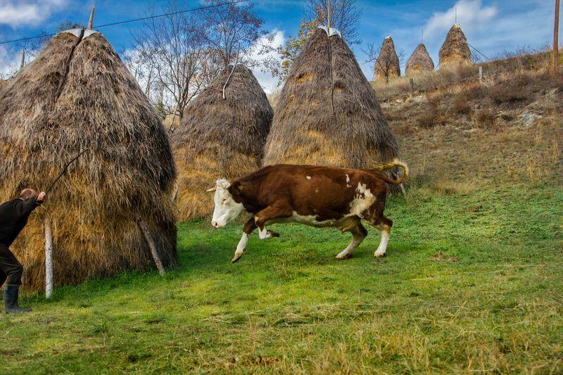 корова, сено, деревня, ферма, агрессивная, домашняя, животная, сербия, дьяково, балканы, сельские жители,cow, hay, village, farm, aggressive, domestic, animal, serbia, djakovo, balkan, villager, Man vs cowphoto preview