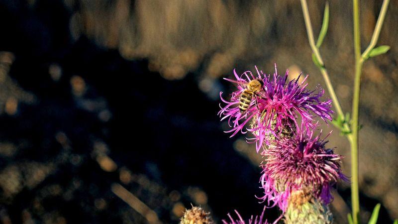 макро, пчела, цветок, свет, цвет  За работай. photo preview