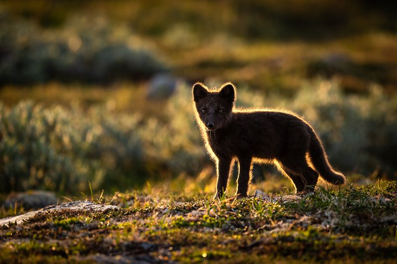 arctic fox, animal, wildlife Arctic fox in backlight.photo preview