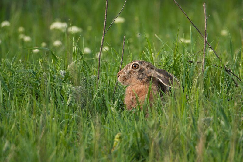 заяц, животные, природа, фауна Прячетсяphoto preview