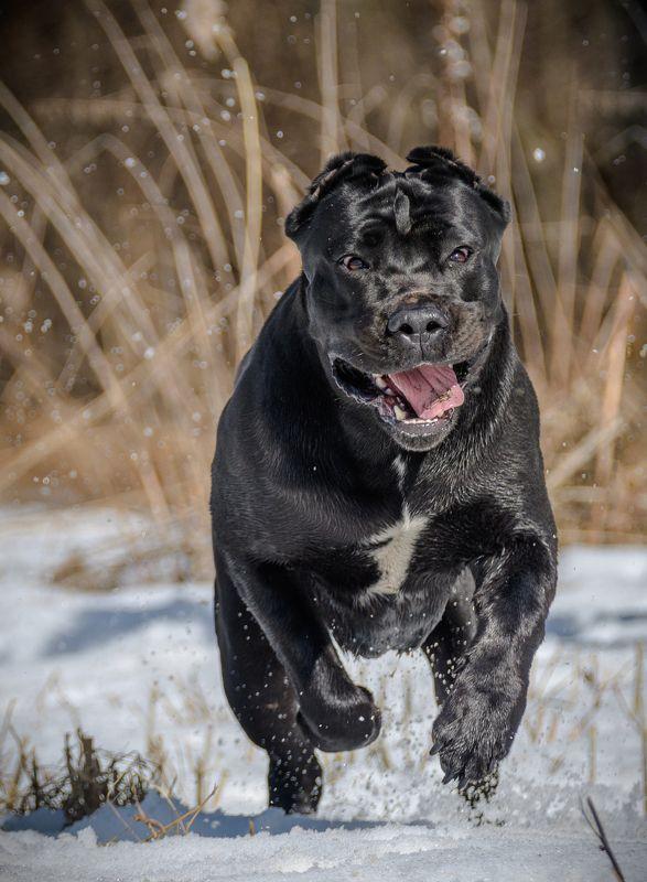 Пёс, собака, активная прогулка, бег, прыжки, бегущий пёс, кане-корсо, Амур, любимец, питомец, красавец, активные игры, апорт, добряк, чёрная собака Любимец и просто красавецphoto preview