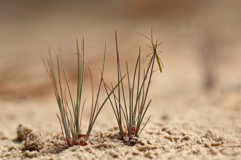 клоп, булавник, chorosoma, gracile, самарский лес Раз травинка, два травинка...photo preview