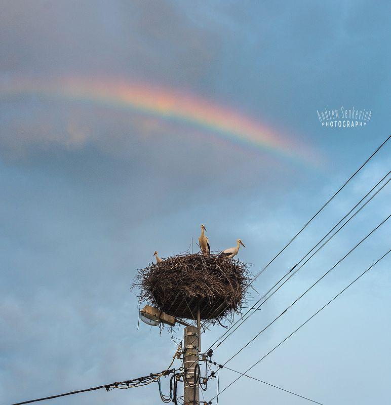 дикий, аист, птенцы, закат, вечер, радуга ~ Rainbow Storks ~photo preview