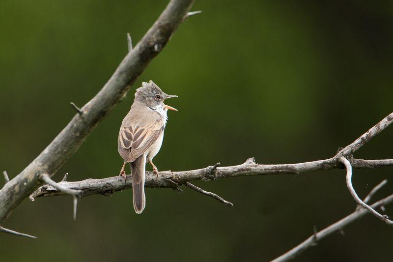 птицы, животные, природа Трель серой славкиphoto preview