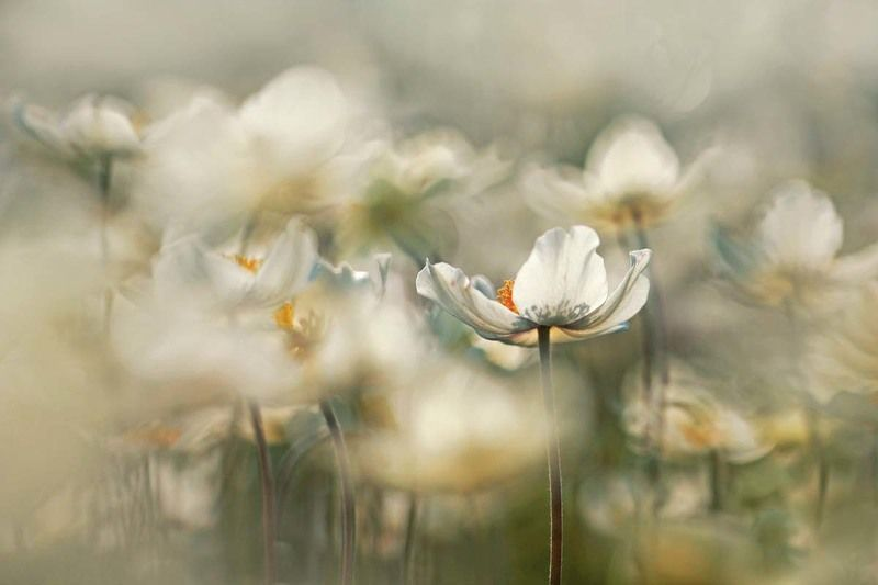 zawilec,kwiaty,natura,nature,macro,przyroda, Zawilec leśnyphoto preview