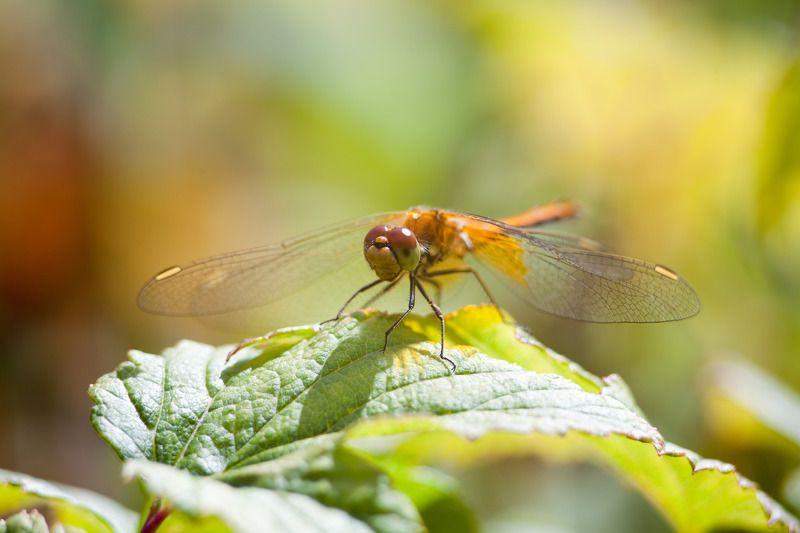 насекомые, стрекоза, животные, лето, сад, цвета, макро дачные стрекозыphoto preview