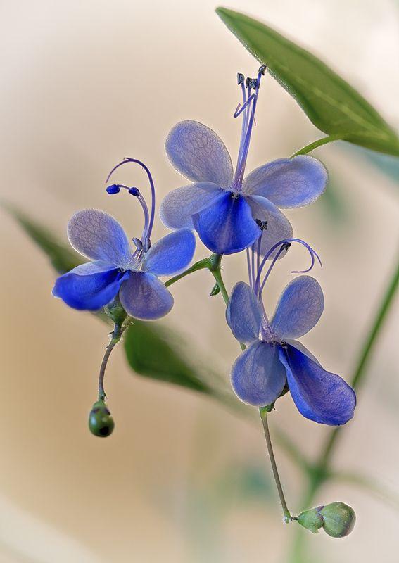 клеродендрум цветы хобби Голубые бабочкиphoto preview