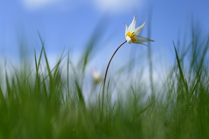 тюльпан, дубравный, tulipa, sylvestris, самарский лес Белыйphoto preview