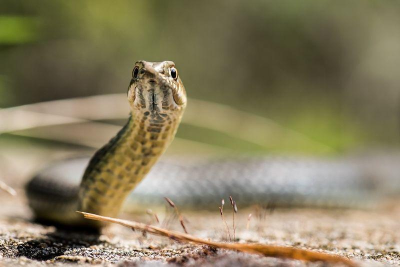 Ящеричная змея (Malpolon insignitus)photo preview