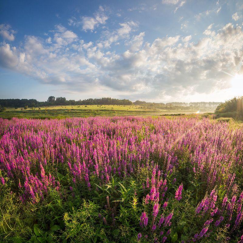 landscape, morning, flowers, sun, purple, пейзаж, утро, цветы, солнце Рассвет на болотеphoto preview