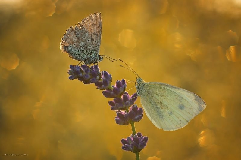 macro nature butterfly High Noon IIphoto preview