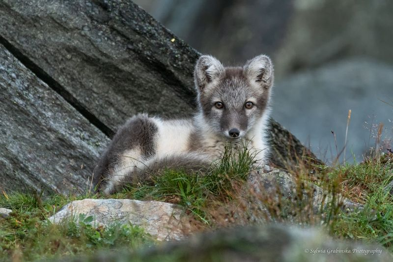polar fox, arctic fox, fox, animals, wildlife, nature Arctic Foxphoto preview