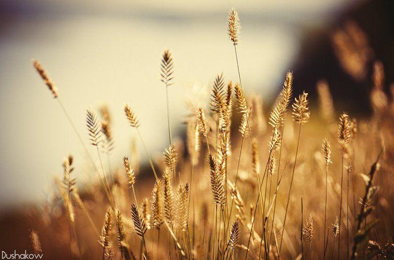 трава, колоски, лето, природа photo preview