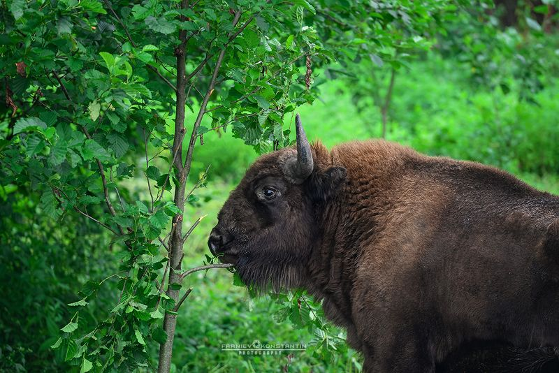 ossetia, caucasus, bison, зубр, бизон, Осетия, Северная Осетия,  Free young bison photo preview