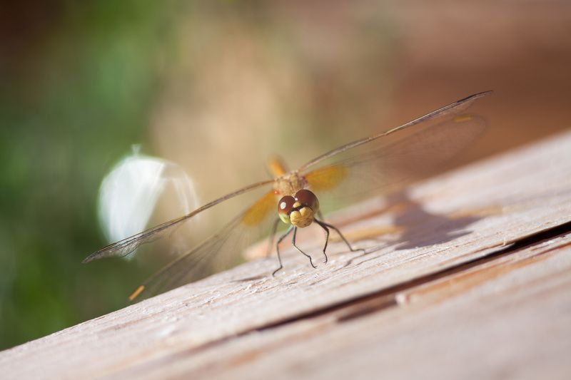 стрекоза, насекомые, животные, макро, лето, цвета, боке, природа вертолетыphoto preview