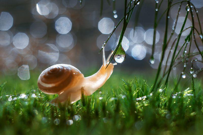 улитка, роса, макро, макро фото, природа, красота, никон, гелиос,snail, dew, macro, macro photo, nature, beauty, nikon, helios, Капли росыphoto preview