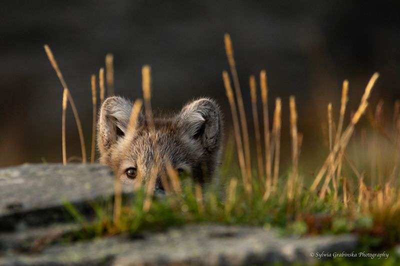 arctic fox, fox, animals, norway, fjelrev, fjällräv, wildlife, nature photo preview