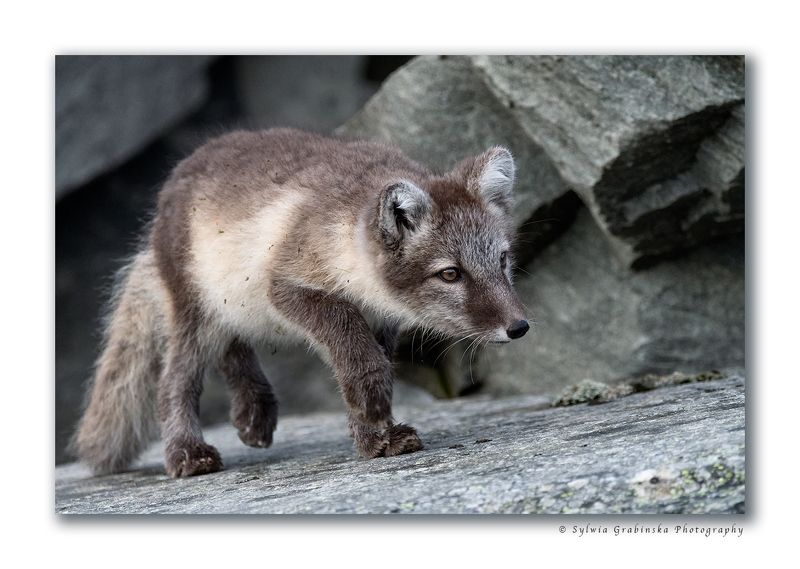 arctic fox, fox, animals, norway, fjelrev, fjällräv, wildlife, nature Hunterphoto preview