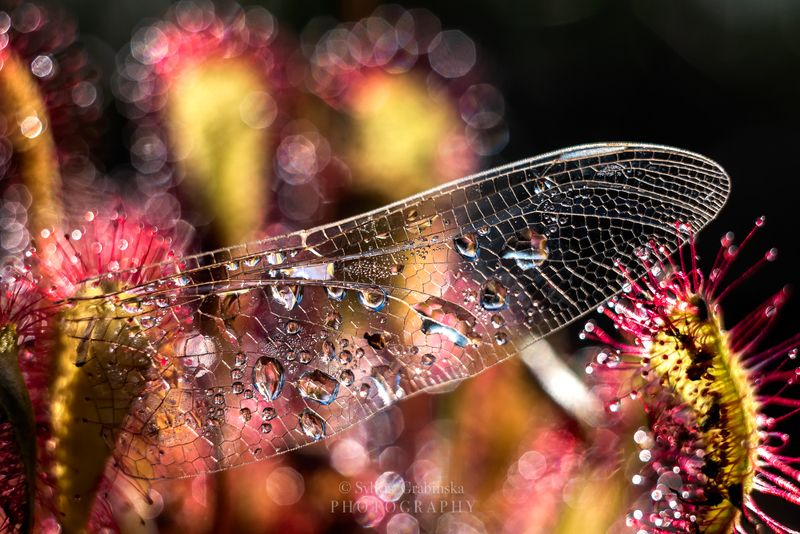 sundew, plants, macro, helios, 58mm, nature, wing, the wingphoto preview
