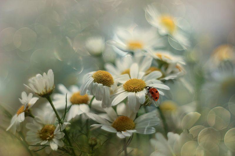 biedronka,owad,kwiaty,ladybug,flowers Biedronkaphoto preview