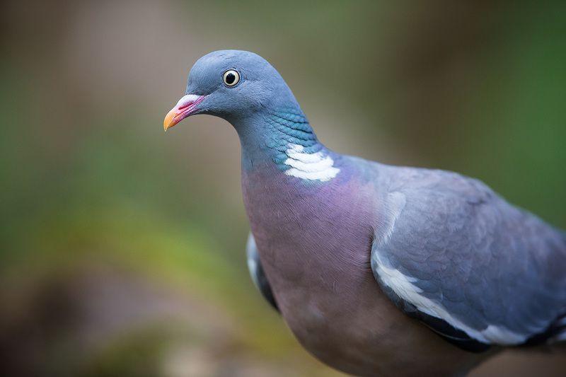 голубь фото птицы размеры роскошную
