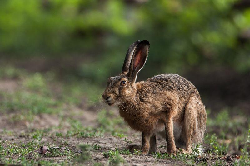заяц, животные, природа, Навострил ушиphoto preview