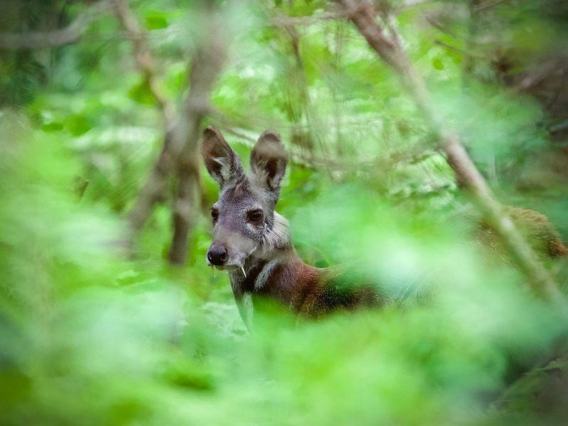 кабарга,тайга,июль,респ.алтай маленькие олени и их маленькие соседи в большой тайгеphoto preview