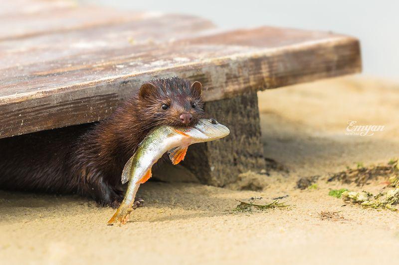 природа, норка, животные, рыба, окунь, улов, nature, european mink, mustela lutreola Норка с уловомphoto preview