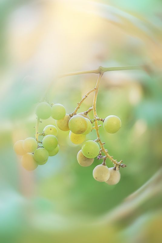antrisolja, warm, grape Летнее солнцеphoto preview