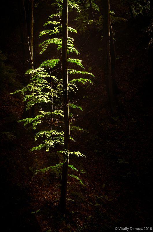 Изумрудное дерево. Карпаты.photo preview