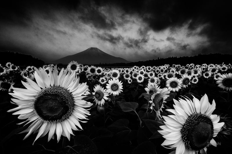 Fuji,mountain,Japan,clouds,flower,sun,summer, Yellow Facesphoto preview