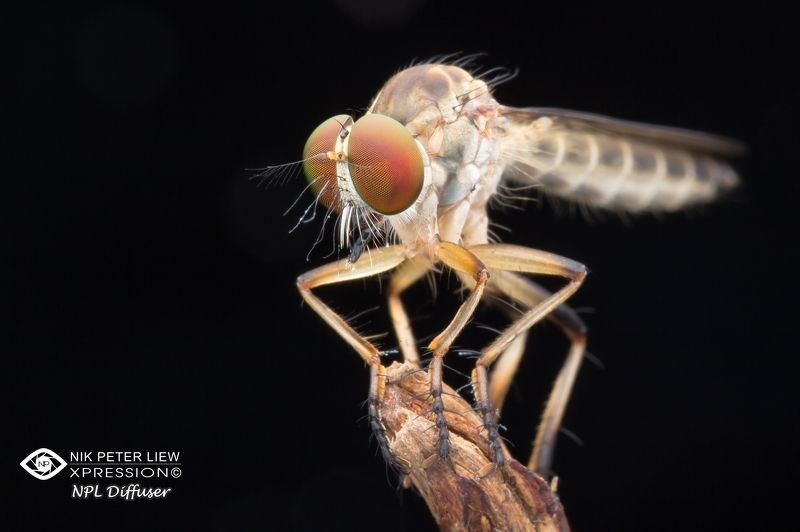 #robberfly, #nature, #npl Alone & Waitingphoto preview