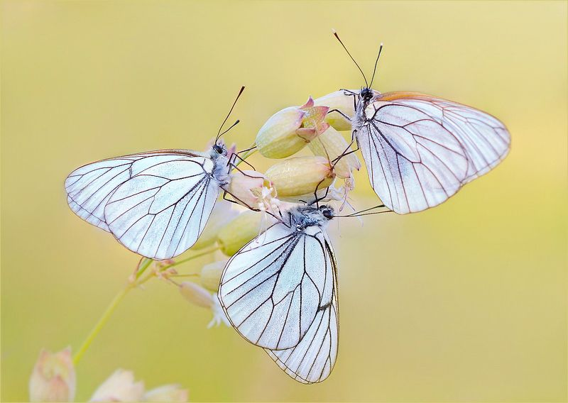 бабочки боярышницы. Хоровод.photo preview