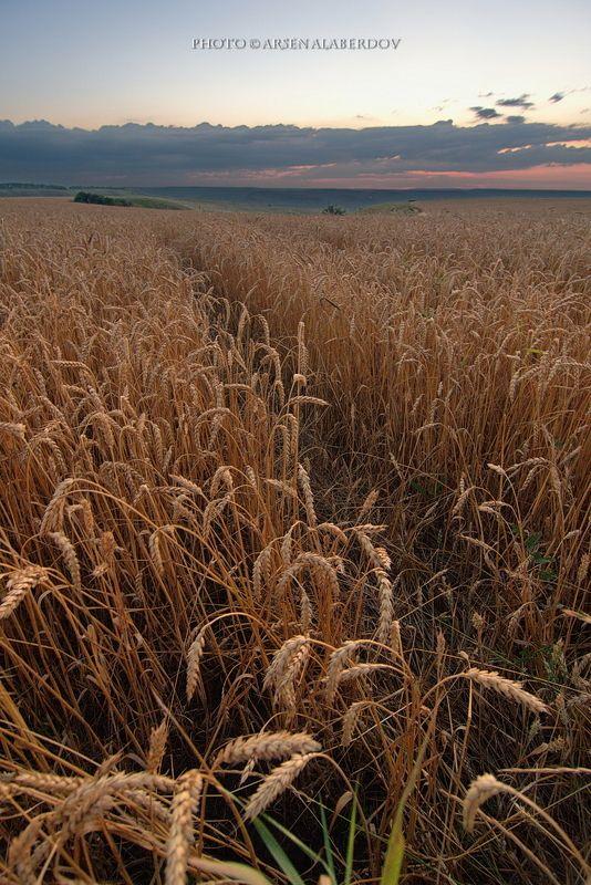 весна, поле, холмы, равнина, долина, утро, вечер, карачаево-черкесия, кавказ, простор, закат, поле, пшеница, рожь ВЕЧЕР В ПОЛЕphoto preview
