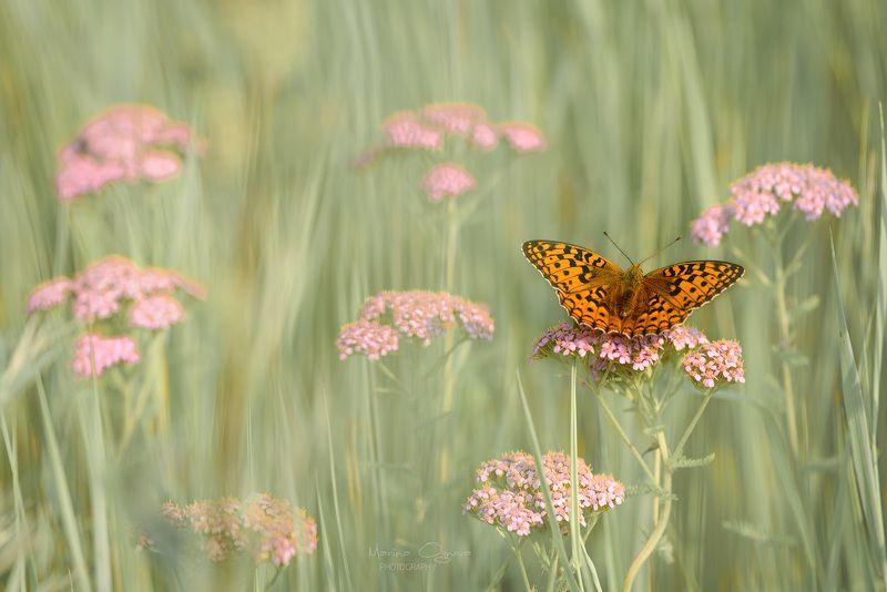 бабочки, перламутровка, краеглазка Байкальские крылатые красоткиphoto preview